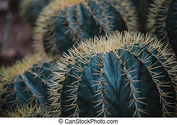 close up on echinocactus grusoni leaf and plant