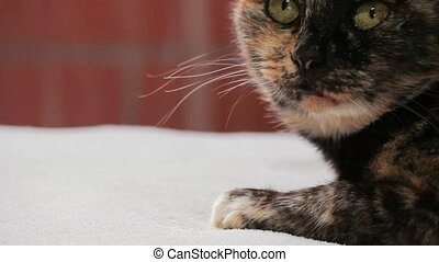 Close up on face of senior tortoiseshell cat looking at...
