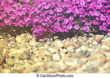 close up on flower Phlox Subulata (Polemoniaceae),  sunset or sunrise