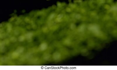Close up on fresh green parsley. Defocuse to focuse - made...