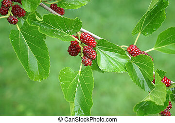 close up on fresh mulberry on the tree branch