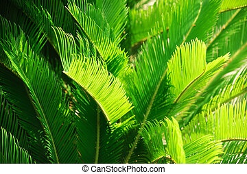 close up on green cycas revolute leaves in the garden