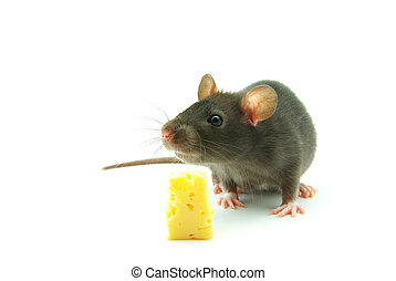 mouse - close up on little mouse and cheese