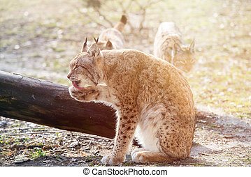 close up on lynx in the forest