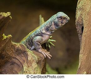 close up on Omani spiny tailed lizard uromastyx thomasi