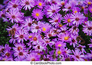 close up on purple flowers of aster