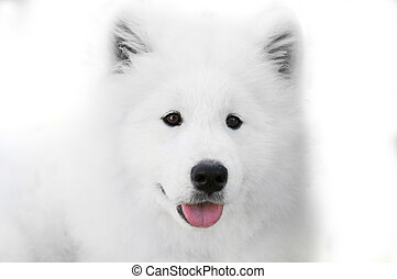 close up on Samoyed dog on white background