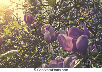 close up on Saucer magnolia (Magnolia x soulangeana) sunset or sunrise