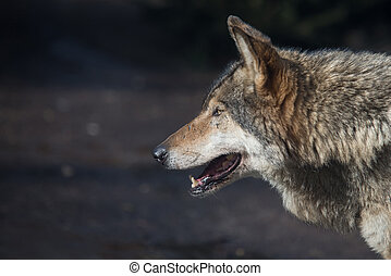 close up on single gray wolf head