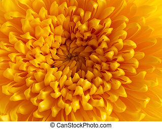 close up on the central of a yellow chrysanthemum flower