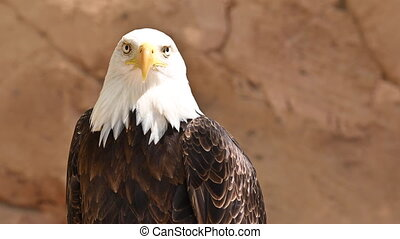 Close up on the face of a Bald Eagle in natural environment. High quality 4k footage