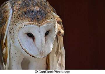 Tyto alba - Close up on the face of a barn owl, Tyto alba,...