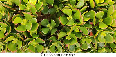 Close up on the leafs of a Crassula Ovata succulant plant on a potted vase.