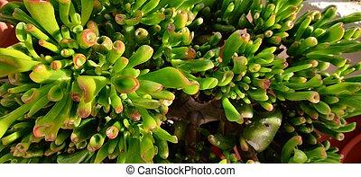 Close up on the tubular leafs of a Crassula Ovata Gollum succulant plant on a potted vase.