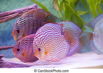 close up on tropical fish of the Symphysodon discus spieces