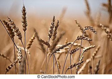 Close up on wheat on the field - Field of golden wheat ready...