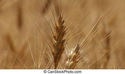 close-up on wheat stalk with the rack focus