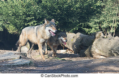 Close up on wolf pack in the forest