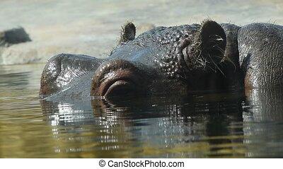 Close up one hippopotamus swim in water