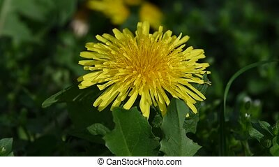 Extreme close up one yellow dandelion flower head over green grass background, low angle view