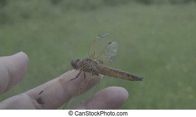 Close-up orange dragonfly resting on female hand, beautiful...