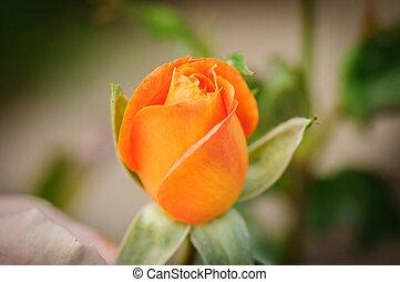 Close up orange Rose in a garden on natural background