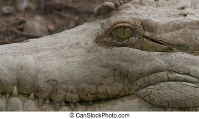 Close-Up | Orinoco Crocodile's Head, Wisirare Park - Extreme...