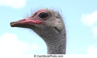 Close up head shot on a cloudy blue sky of a goofy looking ostrich.