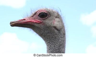 Close Up Ostrich Head Shot - Close up head shot on a cloudy...