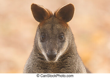 close-up, pântano, wallaby