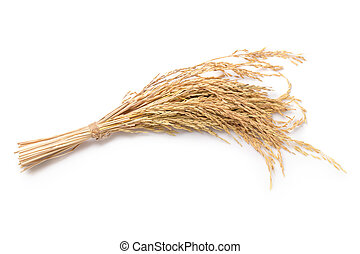 Close up paddy rice isolated on white background