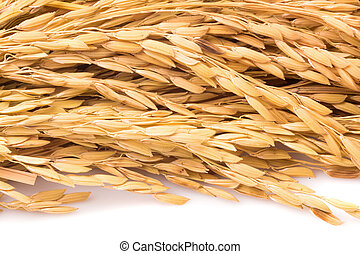 Close up paddy rice on white background