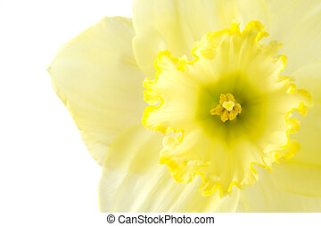 Close up pale yellow daffodil