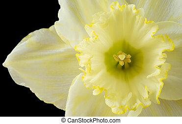 Close up pale yellow daffodil