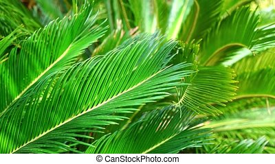 close-up. palm leaves in the park in a tropical climate. Vegetation.