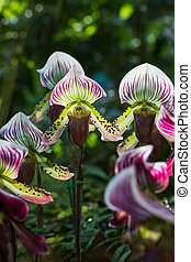 Paphiopedilum of Orchid flower