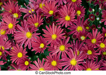 Close-up pattern of a cluster of Chrysanthemums