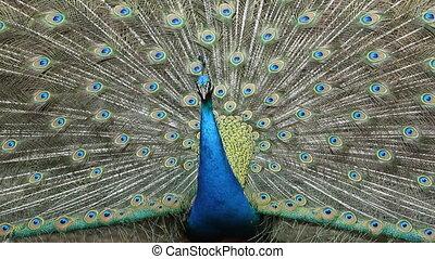 Close Up Peacock dancing