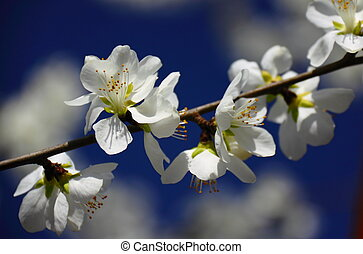 Close-up pear flower