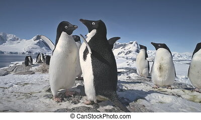 Close-up penguins flapping the wings. Antarctica. - Penguins...