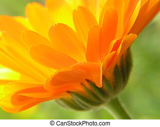 Close-up perspective of orange gerbera