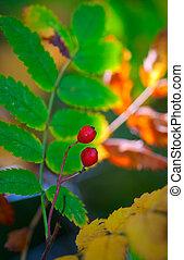 two red rowan berries