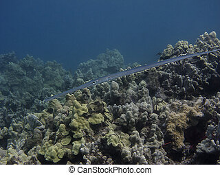 close up photo for a Cornetfish in coral reef