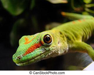 gecko - close up photo of a captive madagascar giant day...