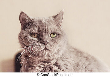 Close-up photo of a cat of British breed lilac color, carefully looking away from the camera. Shallow depth of field. Focus on the eyes.
