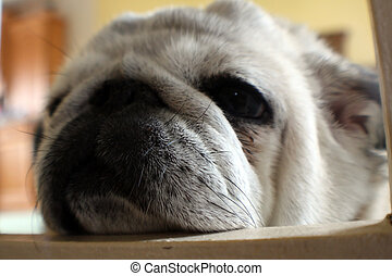 pug - close up photo of a pug, laying down