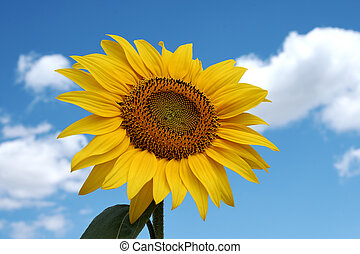 Close-up photo of a sunflower in a field with a blue sky with clouds in the background on a sunny day