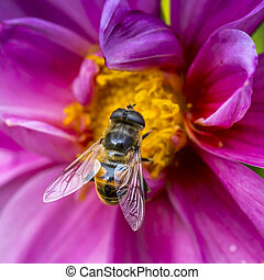 Close-up photo of a Western Honey Bee gathering nectar and spreading pollen.
