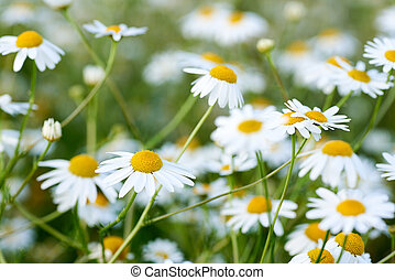 Close-up photo of a wild chamomile flower in a meadow on a sunny day. White petals and blurred background.
