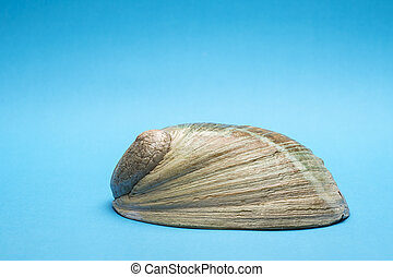 Close up photo of abalone shell on blue background